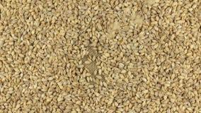 Falling pearl barley grains on the rotating circle of pearl barley lying on sackcloth. stock video