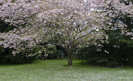 Falling petals of cherry tree Stock Images