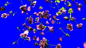 Falling Pink Roses On Blue Chroma Key. 