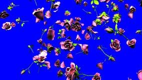 Falling Pink Roses On Blue Chroma Key.  stock video