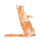 Falling playful cat. isolated on white background Stock Photography