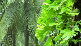 Falling rain in tropical jungle - Philodendron on palm Royalty Free Stock Images