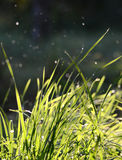 falling raindrops on a green grass in the morning Royalty Free Stock Photo