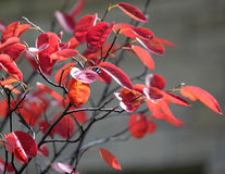 Falling red leaves on gray background. Autumn red leaves on the wind Royalty Free Stock Photos