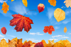 Falling red and yellow autumn leaves and blue sky. With little white clouds on background stock image