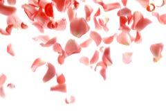 Falling rose petals. On white background stock image