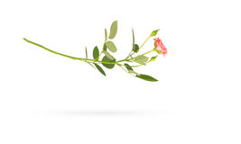 Falling rose on white with shadow Stock Images