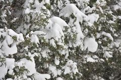 Falling snow against arborvitae in winter. Snow clumps on Arborvitae Bush with falling snow Stock Image