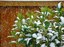 Snow falling on leaves. Falling snow leaves royalty free stock photo