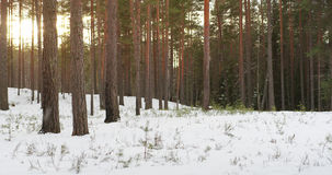 Falling snow in pine forest in winter sunset Stock Photo
