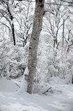 Falling snow from the tree. Winter tree with falling snow from itsbranch Stock Images