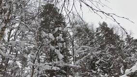 Falling snow in a winter park with snow covered trees. Winter forest walk. Falling snow in a winter park with snow covered trees. Winter forest walk stock video footage