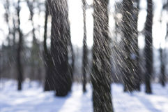 Falling Snow in the Woods Royalty Free Stock Images