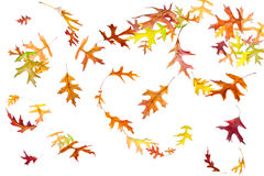 Falling and spinning autumn leaves Stock Photos