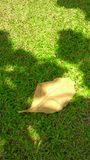 Falling teak leave on the green lawn Royalty Free Stock Photo