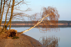 Falling Tree. An almost fallen tree leaning over a lake Royalty Free Stock Photos