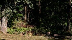 Falling tree stock video
