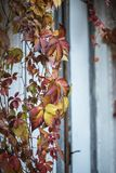 Falling vine in autumn. Red leaves creepers royalty free stock photo