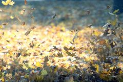 Falling from the wind autumn leaves. The Falling from the wind autumn leaves stock photography