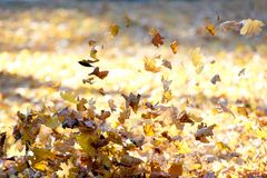 Falling from the wind autumn leaves royalty free stock photography