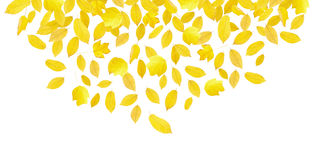 Falling yellow autumn leaves. Isolated on white stock photo
