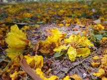 Falling yellow Copper Pod flowers on park ground in summer of Thailand Royalty Free Stock Photos