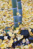 Falling yellow Ginko leaves around bamboo tree in autumn Stock Photography