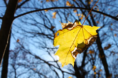 Falling yellow leaf at Fall Royalty Free Stock Images