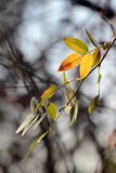 Falling yellow leaves in autumn. Selective focus stock images