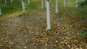 Falling yellow leaves on ground behind trunk. stock footage