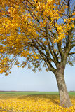 Falling yellow leaves. From the maple tree in autumn stock image