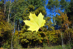 The falling yellow maple leaf Royalty Free Stock Photos