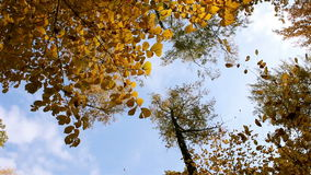 Falling yellow maple Leaves. Falling Leaves yellow maple leaves against the blue sky stock video footage