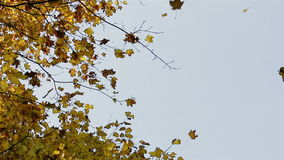 Falling yellow maple Leaves stock video footage