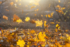 Falling yellow, orange and red autumn leaves. In beautiful nature background with sun flare light leak in soft focus stock image
