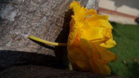 Falling Yellow Silk Cotton flower Royalty Free Stock Image