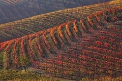 fallitaly mångfärgade piedmont vingårdar Arkivfoton