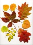 fallleaves Royaltyfri Fotografi
