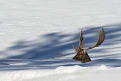 Falllow Deer on the snow background Royalty Free Stock Photos