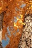 FallMaple träd Arkivbilder