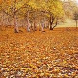 fallna guld- leaves Fotografering för Bildbyråer