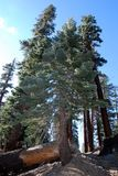 fallna trees Royaltyfri Fotografi