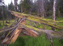 fallna trees Royaltyfri Foto