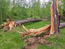 fallna trees Arkivbilder