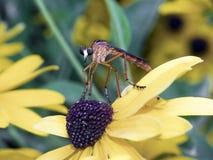 Fallo de funcionamiento asustadizo, mosca de ladrón en Rudebeckia fotografía de archivo