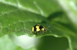 Insecto de la señora Imagenes de archivo