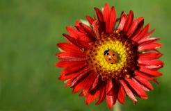 Fallo de funcionamiento de la señora en la flor Fotos de archivo libres de regalías