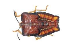 Fallo de funcionamiento del hedor del insecto fotografía de archivo