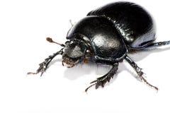 Insecto negro en esquina superior izquierdo Imagenes de archivo