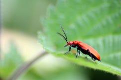 Fallo de funcionamiento rojo del escarabajo de hoja del lirio. Foto de archivo